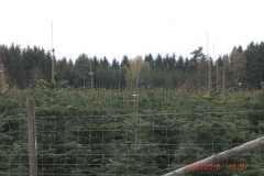 christbaumplantage_03