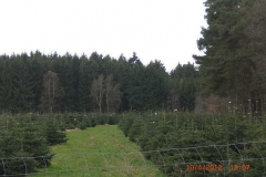 christbaumplantage_04